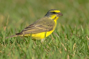 A Yellow-Fronted Canary