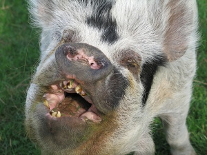 Find out the truth about all this swine flue BS.  (Photo taken from http://www.flickr.com/photos/bornsleepy/268678208/)